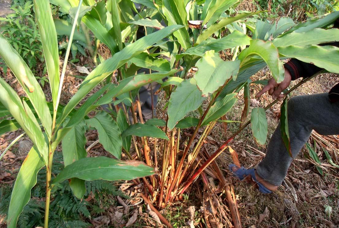 Cardamom plant elachi plant at echhey gaon
